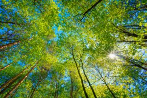 Spring Summer Sun Shining Through Canopy Of Tall Trees. Sunlight In Deciduous Forest, Summer Nature. Upper Branches Of Tree. Low Angle View. Woods Background.
